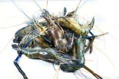 在白色背景的河虾 免版税图库摄影