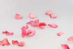 在白色背景的浅粉红色的玫瑰花瓣 库存照片
