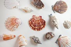 在白色背景的海扇壳汇集 库存照片