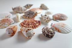 在白色背景的海扇壳汇集 库存图片