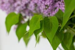 在白色背景的淡紫色花 免版税图库摄影