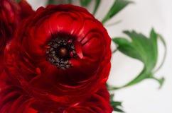 在白色背景的深红花特写镜头 欢乐夏天背景 库存图片
