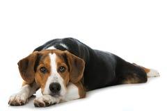 在白色背景的混杂的品种狗 免版税库存图片