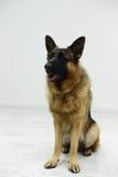 在白色背景的演播室的德国牧羊犬 库存图片