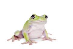 在白色背景的澳大利亚绿色雨蛙 库存照片