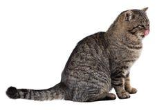 在白色背景的灰色猫舔他的鼻子 查出 免版税图库摄影