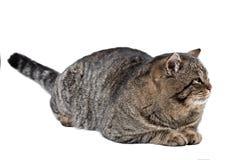 在白色背景的灰色猫舔他的鼻子 查出 免版税库存图片