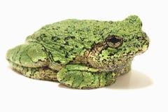 在白色背景的灰色雨蛙 免版税图库摄影