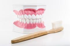 在白色背景的牙刷和下颌模型 免版税库存照片