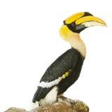 在白色背景的犀鸟鸟 免版税图库摄影