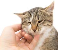 在白色背景的狡猾的人猫 免版税图库摄影