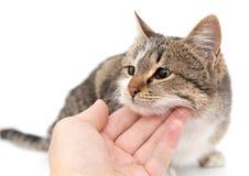 在白色背景的狡猾的人猫 免版税库存照片