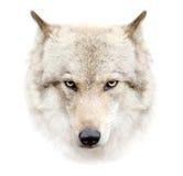 在白色背景的狼面孔 免版税库存图片