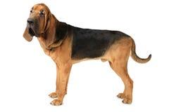 在白色背景的猎犬狗 免版税库存照片