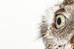 在白色背景的猫头鹰 免版税库存图片