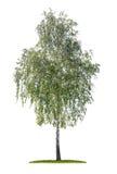 在白色背景的白桦树 免版税库存照片