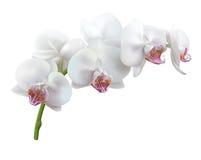 在白色背景的白色兰花花 免版税库存照片
