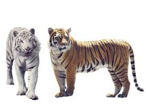 在白色背景的白色和布朗老虎 免版税库存照片