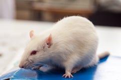 在白色背景的白色实验室鼠 库存照片