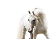 在白色背景的白色阿拉伯马画象 免版税库存图片