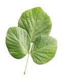 在白色背景的白色隔绝的年轻树叶子 免版税库存照片