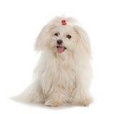 在白色背景的白色马耳他狗 免版税库存照片