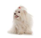 在白色背景的白色马耳他狗 免版税库存图片