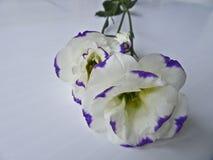 在白色背景的白花Lisianthus 库存照片