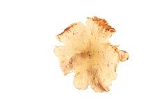 在白色背景的白蚁蘑菇 免版税库存照片