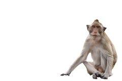 在白色背景的短尾猿猴子 库存照片