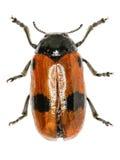 在白色背景的短有角的叶子甲虫 图库摄影