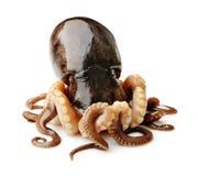 在白色背景的章鱼 库存图片