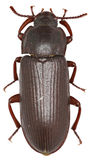 在白色背景的粉虫甲虫 免版税库存照片