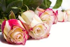 在白色背景的精美桃红色玫瑰 库存图片
