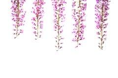 在白色背景的紫罗兰色紫藤花 免版税图库摄影