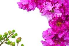 在白色背景的紫色花 免版税图库摄影