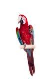在白色背景的红和绿的金刚鹦鹉 免版税库存照片
