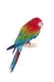 在白色背景的红和绿的金刚鹦鹉 免版税库存图片