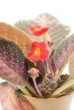 在白色背景的红色具匍匐茎植物花 库存图片