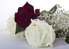 在白色背景的红色和白玫瑰 免版税库存照片