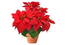 在白色背景的红色圣诞节花 免版税库存照片