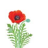 在白色背景的红色开花的鸦片 免版税库存照片