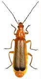 在白色背景的红色战士甲虫 库存照片