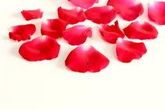 在白色背景的红色玫瑰花瓣与拷贝空间 图库摄影