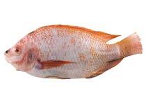 在白色背景的红色罗非鱼鱼 图库摄影