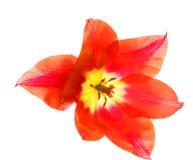 在白色背景的红色郁金香,宏指令 图库摄影