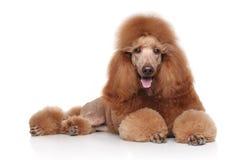 在白色背景的红色长卷毛狗 库存图片