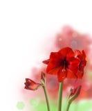 在白色背景的红色Hippeastrum 免版税库存照片
