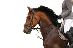 在白色背景的美丽的体育马画象 免版税库存图片