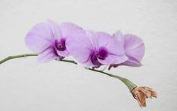 在白色背景的美丽的兰花孤立 库存图片